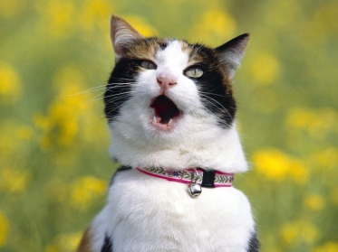 angry-cat-open-mouth-hd-wallpaper