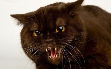 animals_hdwallpaper_angry-cat_61718